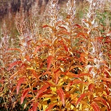 Autumnal willowherb