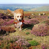 Retriever with Pheasant