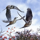 Three Mistle Thrushes in flight