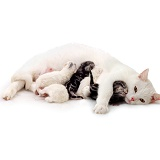 White mother cat and kittens