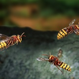 Hornets in flight