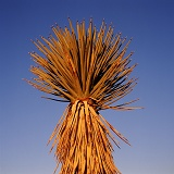 Joshua Tree fronds