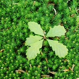 Oak seedling on moss