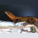Variegated Gecko