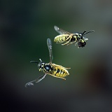 Common Wasp worker banking in flight