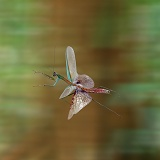 Japanese mantis flying