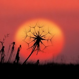 Goatsbeard seedhead at sunset
