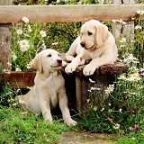 Labrador pups at a stile