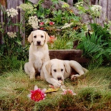 Labrador puppies by a fence