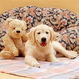 Golden Retriever pup and teddy