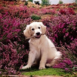 Golden Retriever Puppy and heather