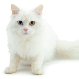 Odd-eyed white cat