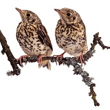 Baby Mistle Thrushes
