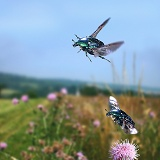 Rose Chafers in flight