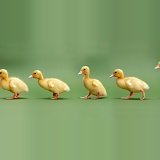 Yellow Ducklings on green background