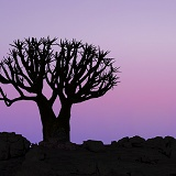 Quiver Tree at sunrise