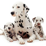 Dalmatian mother and two pups