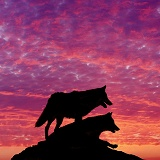Wolves at sunset