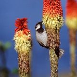 House Sparrow on red-hot poker