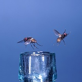 Houseflies in flight