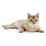Sepia Snow Bengal male cat