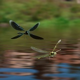 Beautiful Demoiselle Damselflies in flight