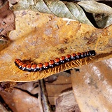Tropical rainforest centipede
