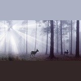 Roe Deer in misty pine forest
