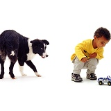 Border Collie stalking child with toy