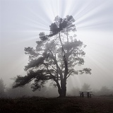 Scots Pine with mist and sunbeams