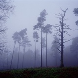 Scots Pines in the mist