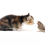Kitten and House Sparrow
