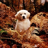 Golden Retriever puppy in Autumn woods