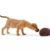 Puppy sniffing a hedgehog