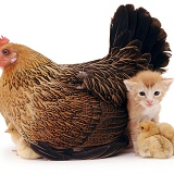 Hen and chickens with kitten