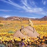 Meerkats and desert flowers