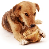 Terrier cross gnawing a bone