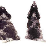 Spaniel fat and thin