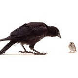 Crow and Sparrow