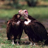Hooded vultures mutual preening