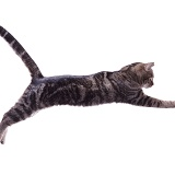 Tabby Cat leaping (series No 2)