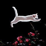 White Cat leaping over roses