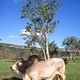 Zebu Bull in Cania Gorge