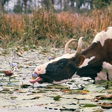 Jacana watching cow eat a water lily