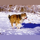 Border Collie running in snow