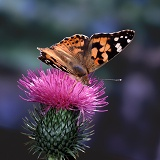 Painted Lady Butterfly on Spear Thistle