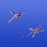 Mosquitoes in flight