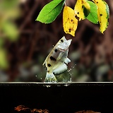 Archer Fish leaping for spider