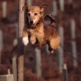Terrier-cross dog jumping fence