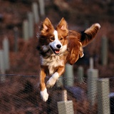 Border Collie jumping fence